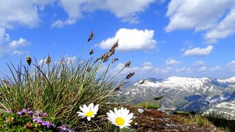 Flowers on the summit | © Feistritzer Rudi
