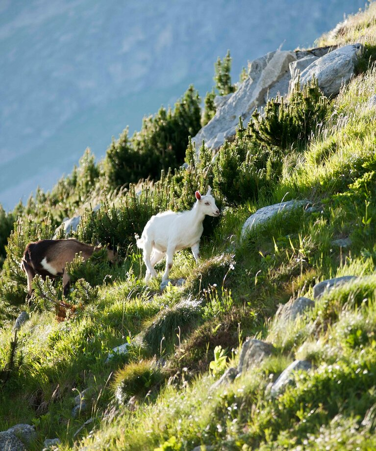 Goats on the mountain pasture | © Verbund Tourismus GmbH